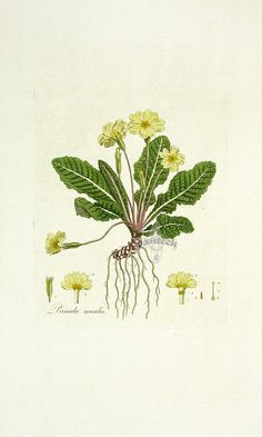 Primrose, Primula acaulis from Tiny Flora Londinensis Daisy, Viola, Orchid Botanical Engravings Vintage Botanical Prints, Botanical Drawings, Botanical Flowers, Botanical Art, Woodland Plants, Primroses, Exotic Plants, Arts And Crafts Movement, Trees To Plant