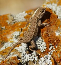 Western fence lizard - Coyote Hills Regional Park - Fremont - East Bay Regional Park District by Scott Severn