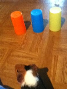 Play a find the treat game with your guinea pig