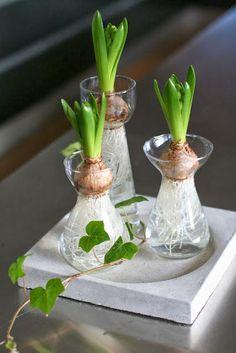Los jacintos son una planta que ultimamente cobra una gran relevancia en la decoracion, no solo cuando esta en plena floración, por el c...
