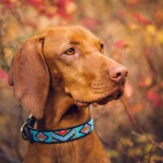 Just a touch of orange and red and mom can't find me on the trails these days! Animals And Pets, Cute Animals, Big Puppies, Hungarian Vizsla, Dog Paintings, Hunting Dogs, Dog Photography, Working Dogs, Dog Photos