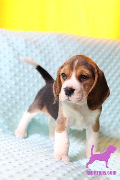 #bluebeagle #tricolorbeagle #beagle #lapitropy #puppies