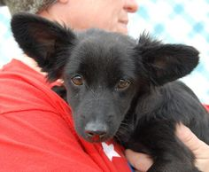 ADOPTED!! Snooky 0761/10 <3 Papillon & Terrier X • Young • Female • Small. Madera County Animal Control Madera, CA. 4 mo girl, about 8 lbs. This little girl is an absolute beauty! Talk about a diamond in the rough! Very friendly & playful & all puppy. She will be a wonderful companion for anybody lucky enough to adopt her. Will you be the lucky one?