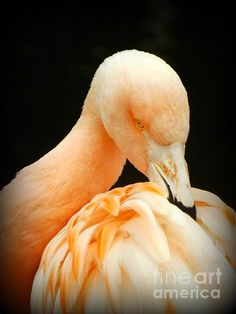 Shy - photograph by Clare Bevan. Fine art prints and posters for sale. #flamingo #birdportrait #clarebevan