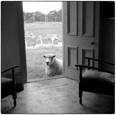 Julian Ward. Sheep at the Door. Hunterville. 1970s