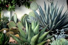 agaves and cacti / A Growing Obsession