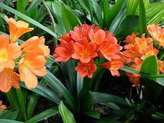 A klívia (Clivia miniata) gondozása, szaporítása - CityGreen. Dry Garden, Garden Compost, Home And Garden, Gardening, Amarillis, Going Natural, Live Long, Love Flowers, Amazing Gardens