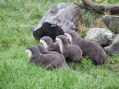 Otters are hypnotized - November 22, 2015