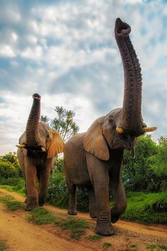 Salute by Brendon Jennings via 500px. Elephants in the Kariega Game Reserve in the Eastern Cape, South Africa.