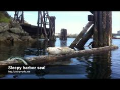 Sleepy harbor seal - YouTube Harbor Seal, Youtube, Movies, Seal, Films, Film Books, Movie