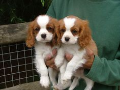 Cavalier King Charles Spaniel puppies!!!