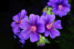 Bunga, Mekar, Biru, Di Malam Hari