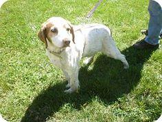 Atlanta, GA - Brittany. Meet TN/Max, a dog for adoption. http://www.adoptapet.com/pet/15887263-atlanta-georgia-brittany