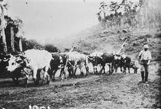 Jack Bendall with his bullock team at Nihotupu. 1895. Photo JTD-13M-01001