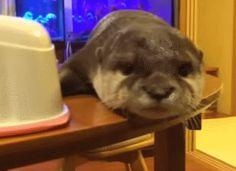 Otter yawn GIF - September 19, 2014