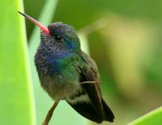 Researchers construct hummingbird family tree