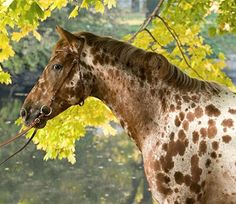 Knabstrupper - breed from Denmark that often has a coat spotting pattern resulting from the Leopard Complex gene also seen in the Appaloosa Pretty Horses, Beautiful Horses, Animals Beautiful, Cute Animals, Horse Girl, Horse Love, Spotted Horse Breed, Rare Horse Breeds, Rare Horses