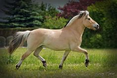 fjord-from mountainous region in W. Norway, good temperment, relatively small, very strong, agile light draft build, all are one of 5 shades of dun, one of world's oldest breeds, farm horse, used as harness horse or under saddle