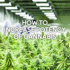 Looking for an approved method of increasing #cannabispotency? A majority of #marijuanagrowers have this question in their mind. Take a look at the post to know factors affecting the potency of cannabis when growing it.  #marijuana #cannabis #PotValet #cannabisstrains #marijuanastrains