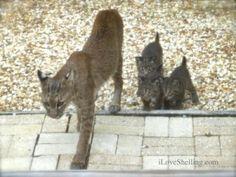 bobcat with 3 kittens sanibel island florida wildlife