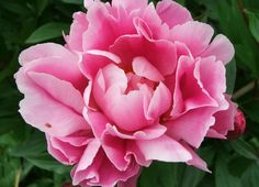 The Most beautiful flowers in the world Peony Flower – All2Need