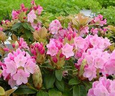 Rhododendron williamsianum-gruppen 'Suvi', Rhododendron. Höjd: 0,2 m.