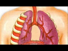 The respiratory system (incomplete)
