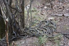 Breeding time for the snakes