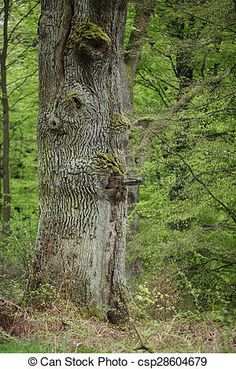 Stock Photo - Old Oak in the Forest - stock image, images, royalty free photo, stock photos, stock photograph, stock photographs, picture, pictures, graphic, graphics