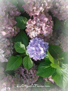 hydrandeas bleu et roses