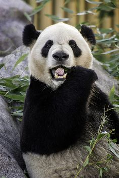 Panda at the Toronto Zoo by dks_34 on Flickr.