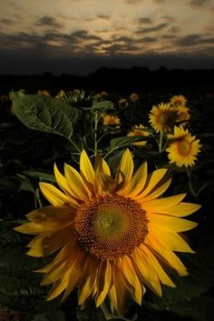 Sunflowers - Click image to find more Science & Nature Pinterest pins