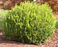 Common Name: Boxwood Small deep green leaves. Grows to 2 feet Winter Gem Boxwood, Korean Boxwood, Juniper Shrub, Partial Shade Plants, Buxus, Green Lawn, Green Leaves, Evergreen, Shrubs