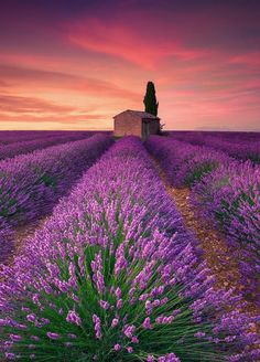 Lavender Field - Valensole (France) by Eric Rousset