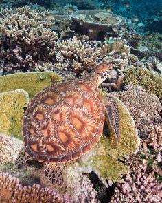 Turtle (Maarehaa Kandu, Indian Ocean).