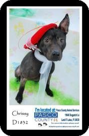 Land O'Lakes, FL - Manchester Terrier Mix. Meet Chrissy, a puppy for adoption. http://www.adoptapet.com/pet/10424206-land-olakes-florida-manchester-terrier-mix
