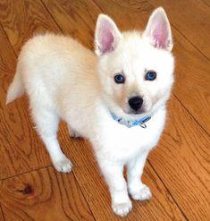 Alaskan Husky Alaskan Klee Kai- I want one so bad Shiba Inu, Akita, Alaskan Klee Kai Puppy, Alaskan Husky, Miniature Husky, Pet Dogs, Pets, Doggies, Wild Creatures