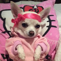 Chihuahua Love, Chihuahua Puppies, Cute Puppies, Cute Dogs, Chihuahuas, Funny Animal Pictures, Cute Funny Animals, Cute Baby Animals, Funny Dogs