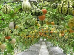 looks like a fairy garden... pretty climbing pumpkins. (Needs a really big garden at some point)