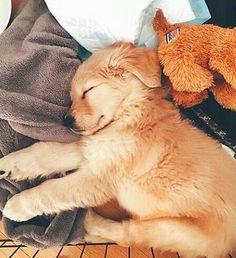 Golden retriever puppy X