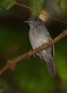Choca-de-olho-vermelho (Thamnophilus schistaceus)