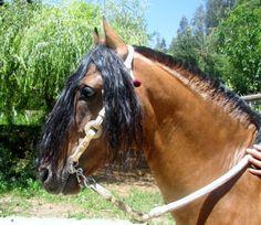 chilean horse , adornos: Peleco ROMARIO Horse Caballo, Pony Breeds, Bay Horse, Conquistador, Arabian Horses, Horse Pictures, Equine Photography, Donkeys, Beautiful Horses