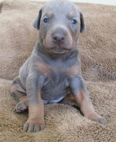 So sweet! Blue dobie baby.