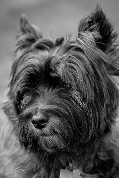 Alfie, 11 year old, Cairn terrier.