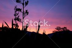 Harakeke (NZ Flax) Silhouette & Sunset Royalty Free Stock Photo