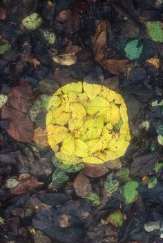 Yellow patch (elm) [Leaf patches edges made by finding leaves the same size tearing one in two spitting underneath and pressing flat on to a...
