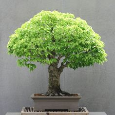 ☺☼How do you like this cute tree?ᴥ☺       #BonsaiInspiration