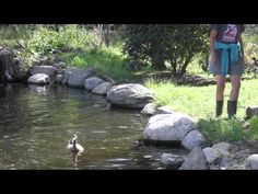 Rescued ducks discover the water for the first times, heart-warming.