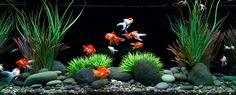 Fancy Goldfish Tank | ... : Best Plants and Substrate for Beginner Planted Goldfish Aquarium