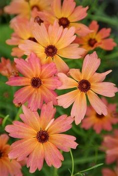 Gardening Autumn - Coreopsis x hybrida Limerock Dream - With the arrival of rains and falling temperatures autumn is a perfect opportunity to make new plantations Sun Garden, Garden Shrubs, Dream Garden, Garden Plants, Cut Flowers, Wild Flowers, Beautiful Flowers, Flower Beds, My Flower